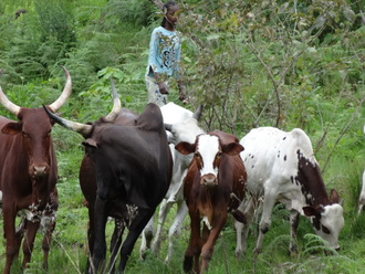 Young shehu grazing on gutang reputed for yams