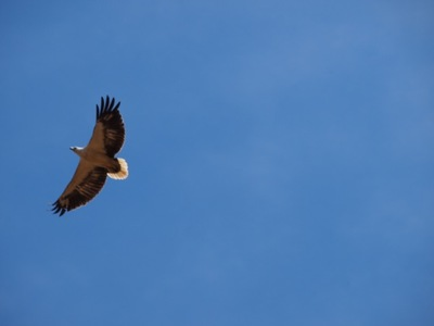 Save the White-Bellied Sea Eagles on Swan Bay