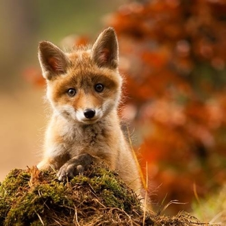 DO NOT repeal the fox hunting ban