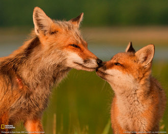 Keep the ban on fox hunting