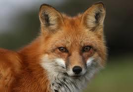 Protect foxes and stop the repeal of the Hunting Act