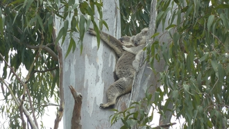 Crowson lane and stanley court south side koala and joey 2 11 14