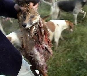 Please vote on the English fox hunting ban ammendments