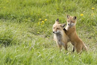 Make The Fox Hunting Ban  In The UK Permanent