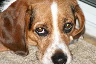 STOP BEAGLES BEING BRED FOR EXPERIMENTATION