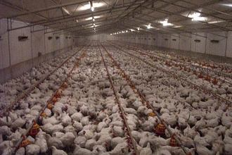 Say 'No' to  proposed Industrial Chicken Farm in Clearwell, Forest of Dean.