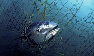 Ban ALL blue fin tuna fishing in UK waters