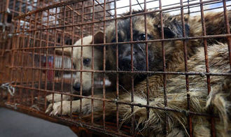Dogs and Cats still being eaten in Yulin and Guangdong