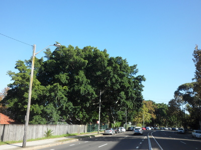 Protect our significant trees - amend Light Rail alignment
