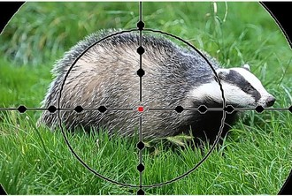 Badger Vaccination NOT Badger Murder in Staffordshire