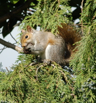 Stop the EU & UK Squirrel Cull