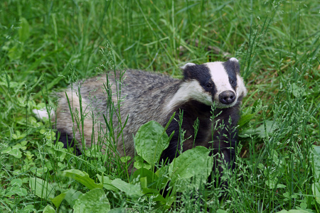 Stop the badger cull in: Devon