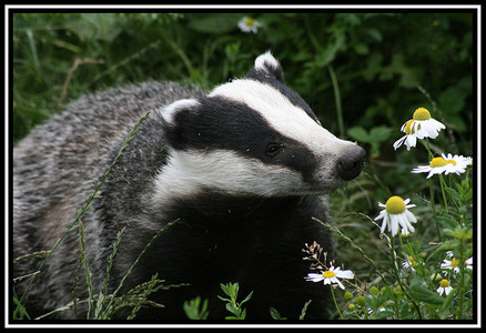Please do not cull Badgers