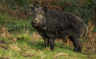"Remove the ""feral"" status of native UK wild boar"