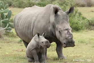 Mother and baby rhino %28photo by angie goody%29