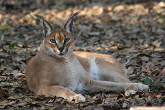 Save the Indian Caracal