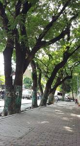STOP CUTTING THE 248 OLD TREES IN FLORIDABLANCA, PAMPANGA