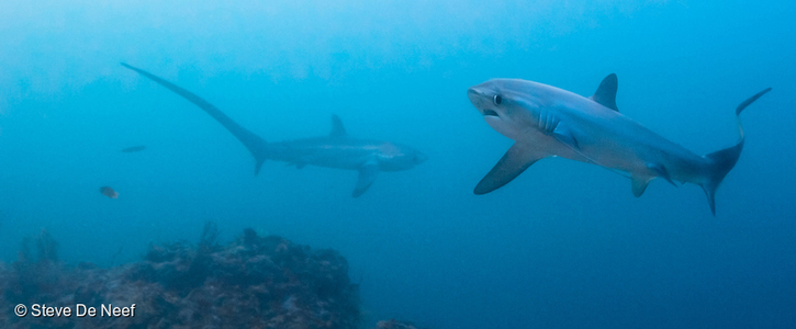 Pass the Shark, Ray, and Chimaera Conservation Act