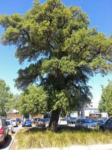 Save the heritage Cork Tree in Norwood, Adelaide, South Australia
