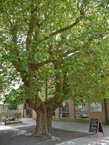 Save the Frome Plane Tree