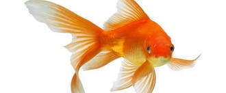 Stop Giving Goldfish Away As Prizes on Hook A Duck Or At Any Fair Stall