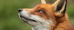 Say 'NO' to the re-introduction of Fox Hunting