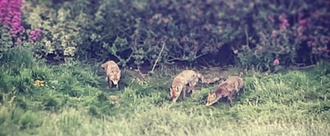 Major development in Worthing threatens long established fox family- Please help us protect them!