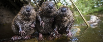 Save the beavers of Beauly Scotland