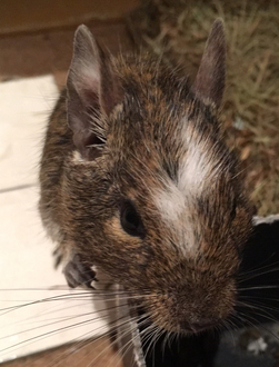 Prevent Pets at Home leaving single degus for sale