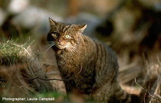 Scottish Wild-cat