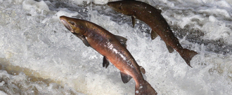 Give Welsh Salmon and Sea-Trout a chance!