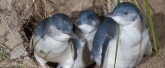 Protect Timaru's Penguins