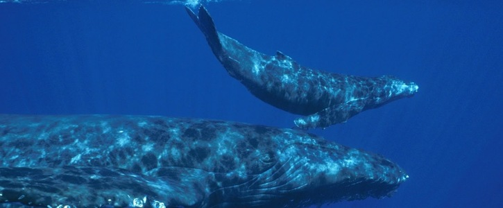 Make Commercial Whaling Illegal