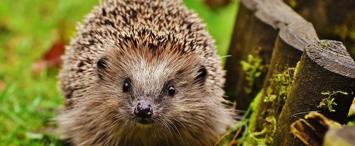 Our hedgehogs need help