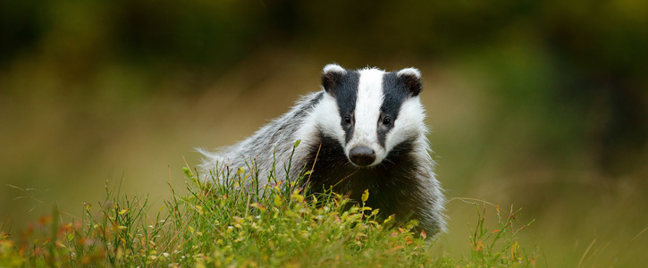 Call for a review into uk Badger Cull