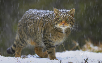 Protect Scottish Wildcat