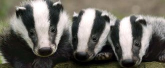 Stop the proposed £50 a kill badger cull.