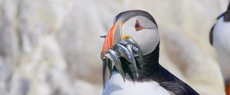 Save Our Seabirds from Danish Over-fishing