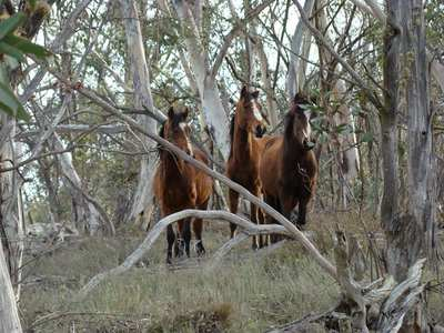 Stop culling (shooting) of Brumbies