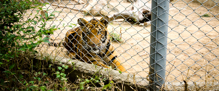 Stop the lion and tiger tug-of-war 'attraction'