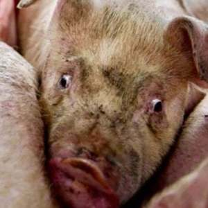 Save 53 rescued pigs from a death sentence