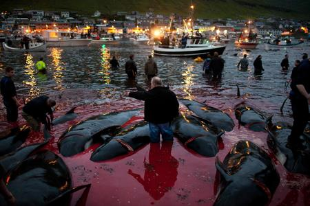 Stop the Bloody Sea Life Slaughter in the Faroe Island, Japan, Iceland & around the world