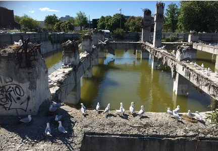 Save the Christchurch Central City black-billed gull colony from future destruction