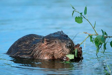 Save the Free Beavers of England