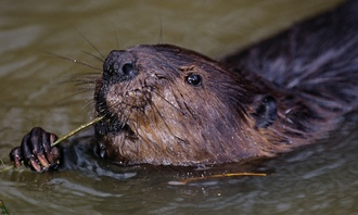 Freedom for the Wild Beavers