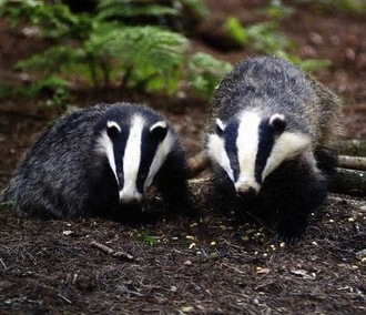 Liz Truss - call an immediate end to the badger cull.