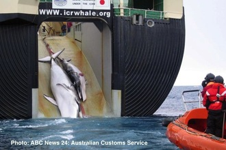 Free our Southern Ocean from Japans Scientific Whaling