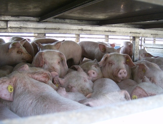 End the transport of live animals for slaughter