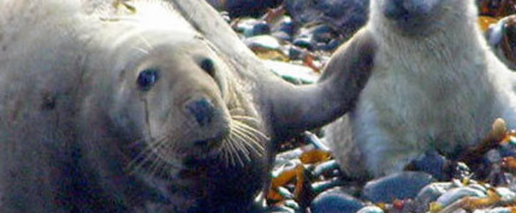 No culling of protected Grey Seals in Dingle or Ireland