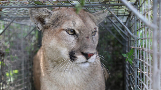 Stop Killing our Mountain Lions